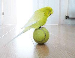Adaptacja, oswajanie i szkolenie papug