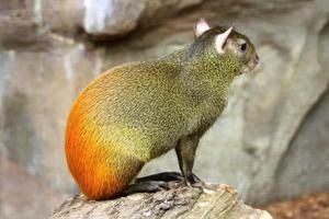 Agouti lub garbaty królik: gatunki, siedliska, zachowanie