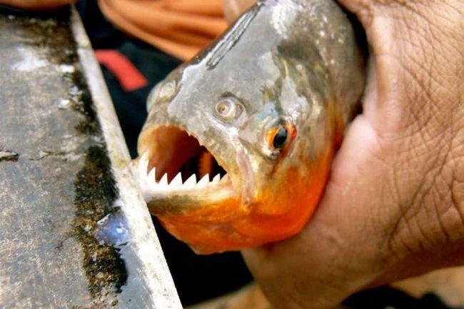 Akwarium pirania krasnobryuhaya - legenda Amazonii w akwarium