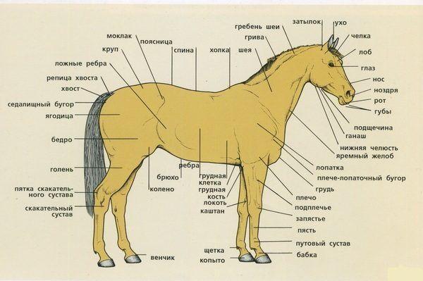 Anatomia, struktura i cechy koni i kuców