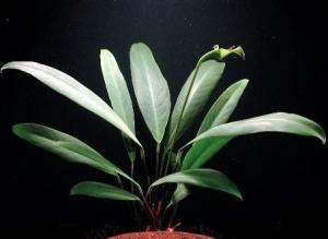 Afzelia Anubiasy (Anubiasy afzellii) -