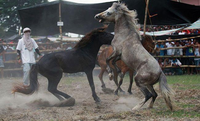 Walki koni - sport, biznes czy barbarzyńskie tradycje?