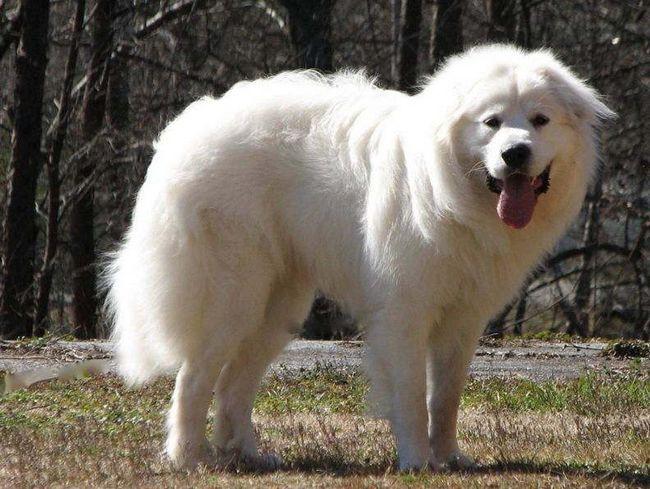 Większość Pirenejski pies