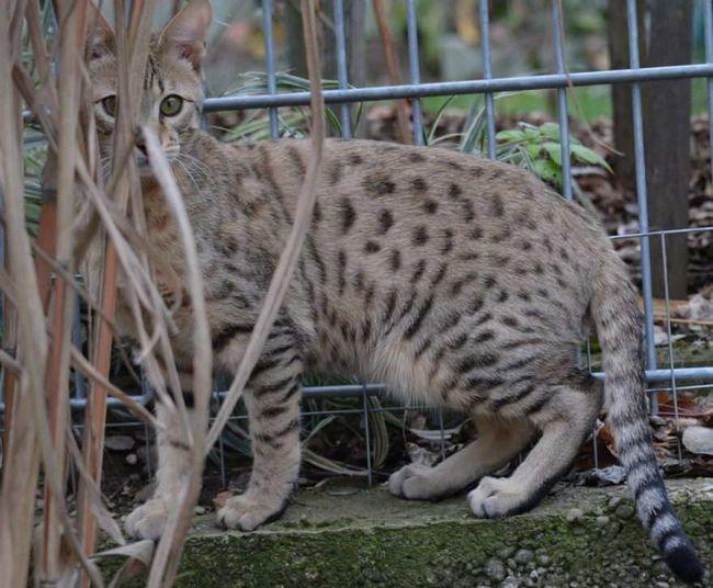 Duży kot rasy Savannah