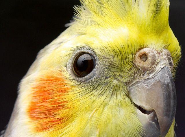 Głowa nimfy z żółtym upierzeniu i czerwone policzki