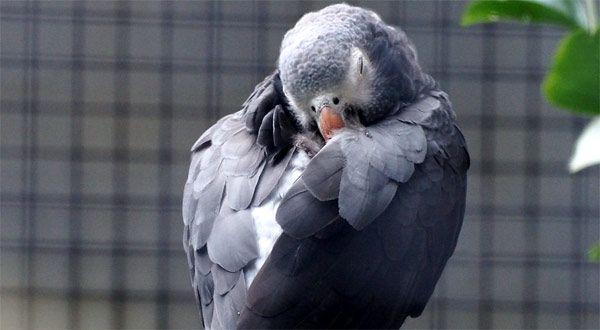 Chorzy papugi?