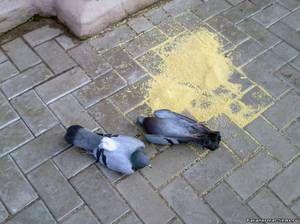 Co może zatruć gołębie: kto i dlaczego to robi