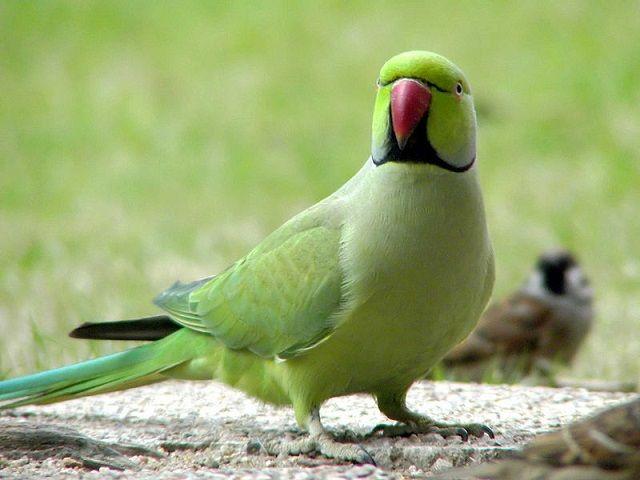 Cud ptak przyniósł. Macedoński - Alexandrine Parrot