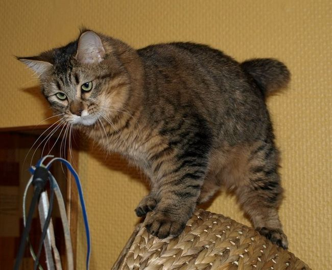 Home Lynx - Pixie-Bob