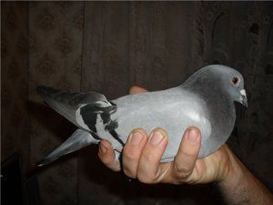 Jeśli trzeba, jak złapać gołębia?