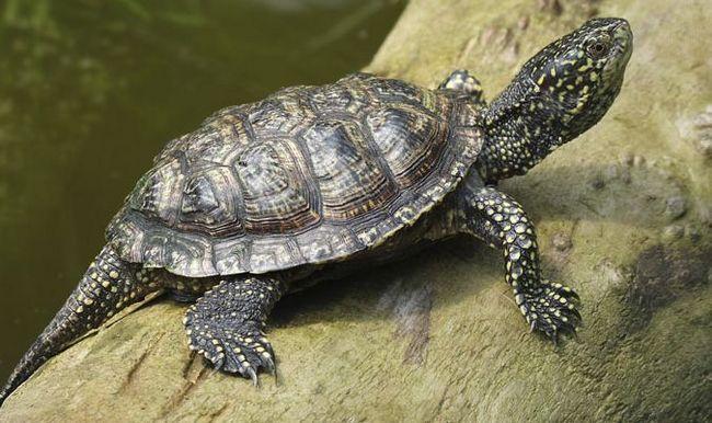 Żółw błotny w domu