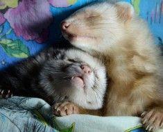 Śmieszne fretki podczas snu
