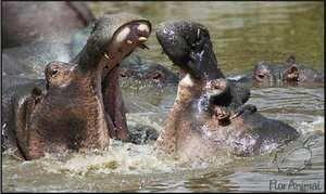 Zamieszkana przez hipopotama i co zje?