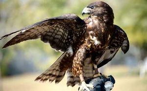 Ptaki drapieżne - jastrzębia. Kto zjada?