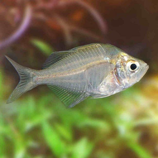 Zabawka dla mężczyzn - GlassFish