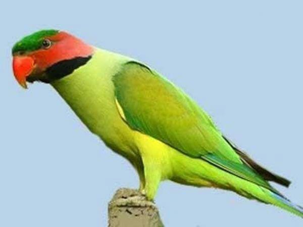 Ozherelovy papużki