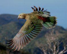 Papuga Kea w locie