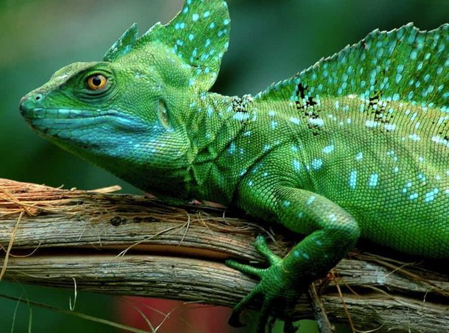 Lizard bieg na wodzie - wspólny bazyliszek