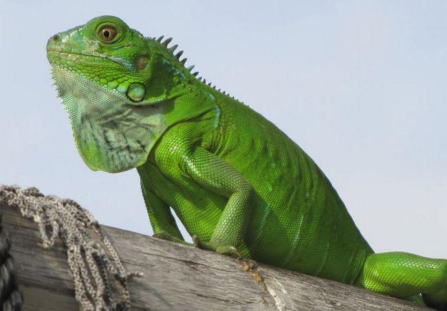 Duży i bezpretensjonalny - zielony iguana