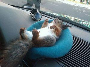 Jak długo wiewiórki w domu, ale w lesie?