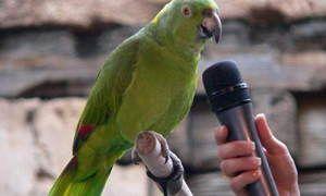 Jak uczyć mówienia papużka falista