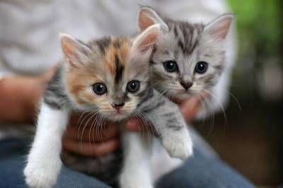Jak określić płeć kotka?