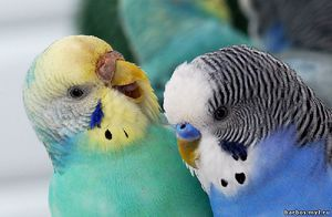 Jak określić płeć Papużka falista: ekspertyzy