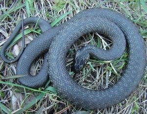 Jak odróżnić żmiję węża: charakterystyczne cechy