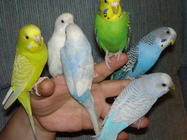 Jak wybrać papugę bez pomocy