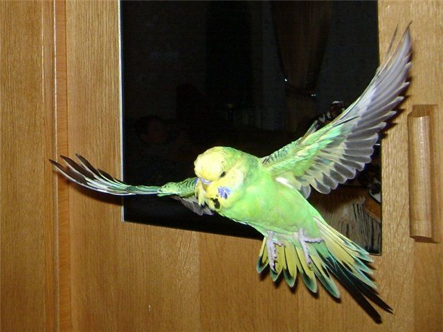 Papugi latają po pokoju