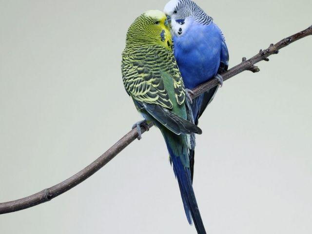 Dwie papugi na gałęzi