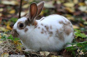 Jak leczyć królika, gdy wykryje kleszczy usznych