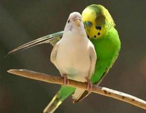 Jak zrobić wygodne gniazdo dla papużek falistych