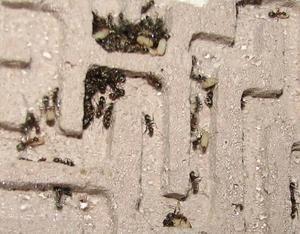 Ważne jest, aby odpowiednio zaplanować ruchy dla mrówek, tak że były one wygodne.