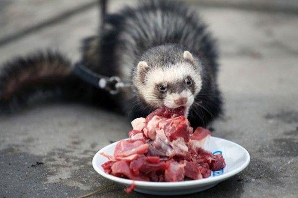 Fretka spożywa mięso przeznaczone do walki radioelektronicznej