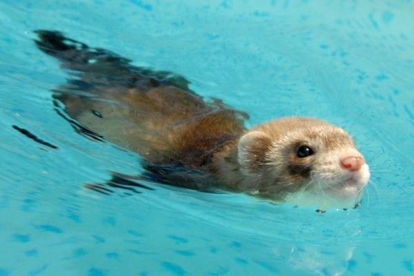 Ferret pływanie w basenie