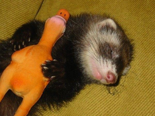 Fretka śpi z zabawki