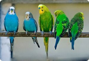Jakie rodzaje papug domowych