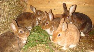 Jakie zioła mogą karmić króliki?