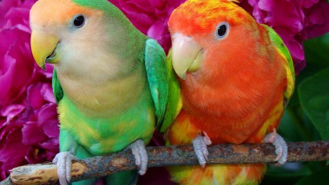 Klasyfikacja papug: rodzaje, nazwisk i zdjęć