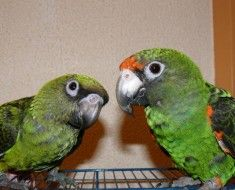 Zdjęcie 7. Jardine papuga