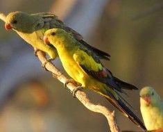Zdjęcie 9. The Regent papugi