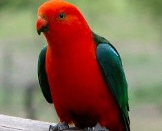 Zdjęcie 6. Królewski papuga