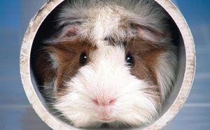 Piggy najciekawsze nazwy dla świnki morskiej