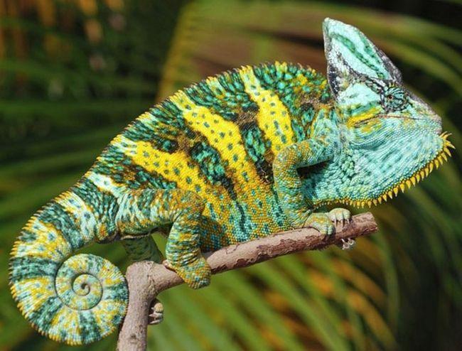 Blisko Chameleon Jemenu