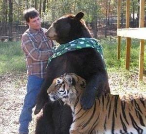 Kto jest silniejszy, tygrys lub niedźwiedź? Lew lub niedźwiedź?