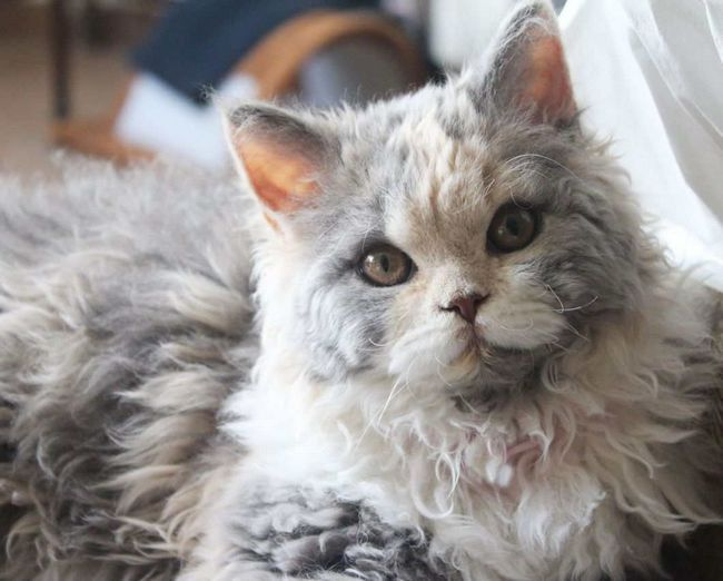 Kręcone Cat - Selkirk Rex