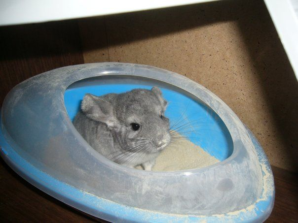 Chinchilla siedzi w plastikowej kupalke