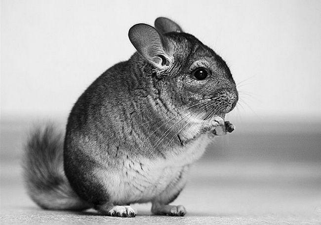 Chinchilla siedzi na tylnych nogach