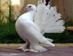 Gołębie Kursk i ich rola w przyrodzie